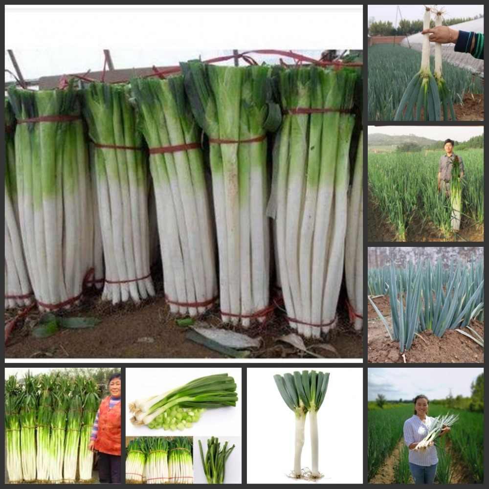 100 個新鮮な巨大な中国のネギ semillas ホームガーデン盆栽植物野菜 sementes
