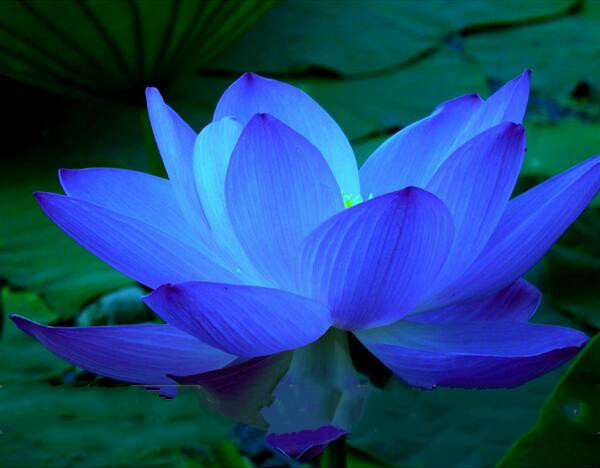 online buy wholesale lotus flower blue from china lotus flower, Beautiful flower