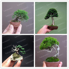 50 pcs Mini Black Pine bonsai, Indoor Plants Radiation Protection Bonsai, Japanese bonsai Tree for home garden potted plant