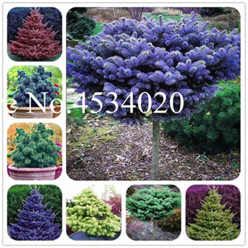 50 sztuk rzadko niebieski świerk drzewo wspinaczka Evergreen niebieski jodła roślin Bonsai doniczkowe sosna świąteczne drzewo dla ogród rośliny ozdobne
