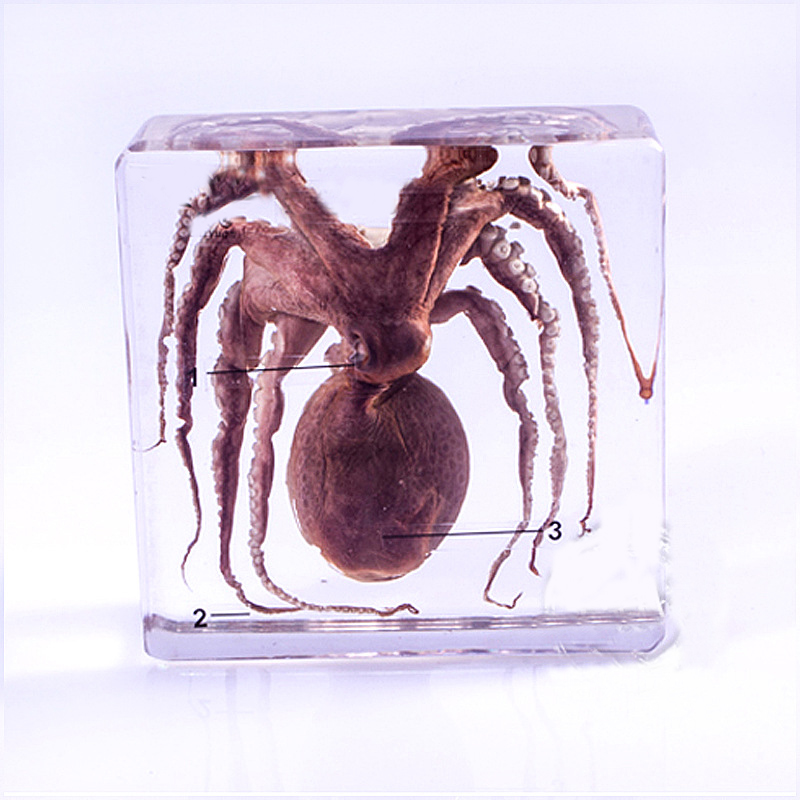 Real Octopus Specimens In Clear Lucite Block Educational Middle School Biology School Teaching Aids Teaching Instrument