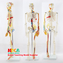 Medical 85CM human skeletal muscle start and stop point neural model small needle scalpel human skeleton model MGG206