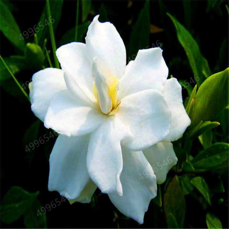Hot Bán! 300 Pcs Cây Sơn thực vật (Cape Jasmine)-Vườn Nhà DIY Bonsai Trong Chậu, tuyệt vời mùi & hoa đẹp cho phòng