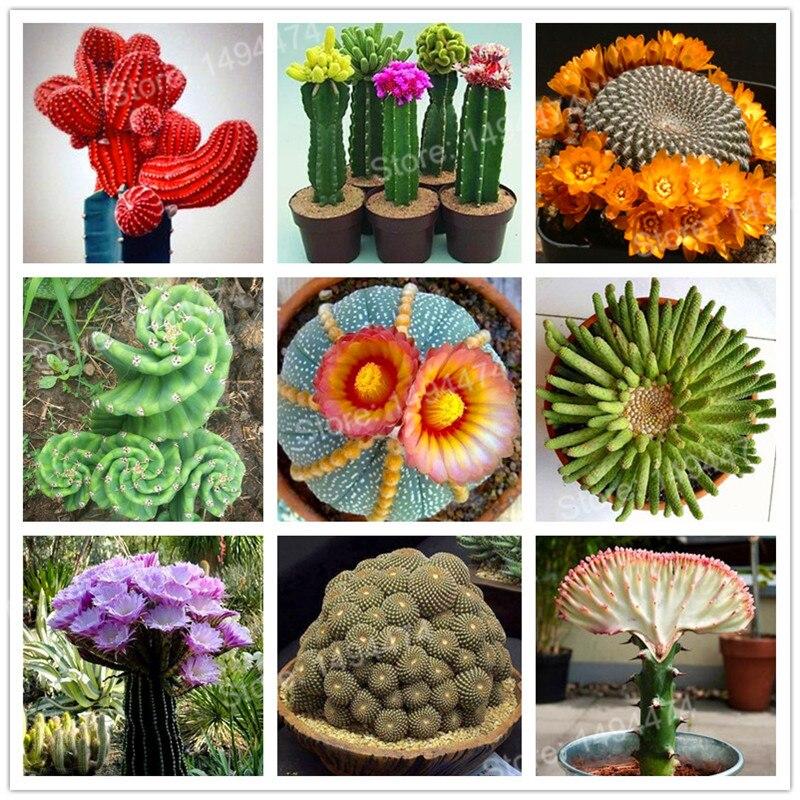 100 Mixed cactus flower flores Succulent plantas lotus Lithops Pseudotruncatella plante bonsai plant for home garden,easy to gro 流水 盆 養魚