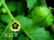 Best-Selling!50 Pieces/Lot, Physalis pubescens seeds, potted Physalis pubescens, Lantern fruit seeds,#NVBFKX