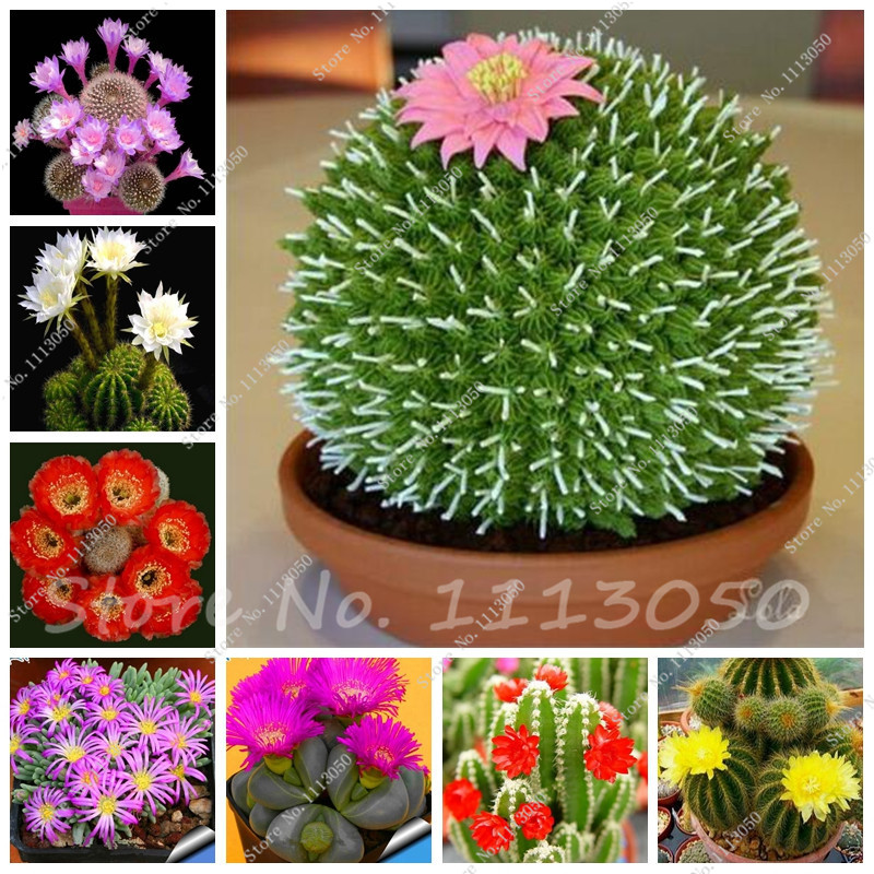 Hot 50 Pcs Succulent Seeds- Echeveria Species Mix - Excellent Indoor House Plants - Garden Decoration- Gorgeous Array Of Colors