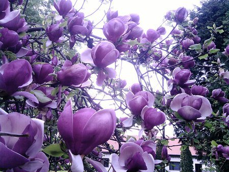 20/bag rare flower seeds Beautiful Yulan Flower Seeds colorful magnolia Seeds home & garden clean air bonsai  free shipping