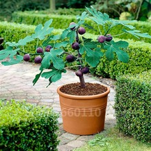 Free Shipping 50 Pcs Rare Tropical Fig Plant Mini Fig Tree Bonsai Plant Outdoor Rare Fruit for Home Planting Germination amy fig