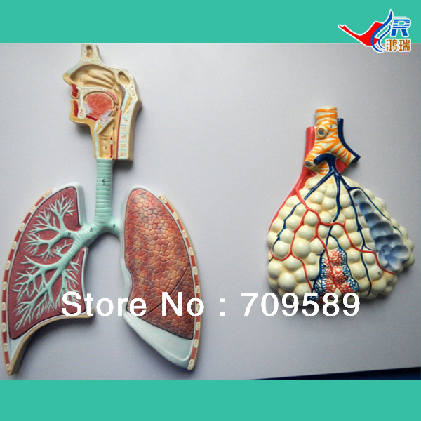 ISO Anatomical Model of Human Respiratory System iso anatomical model of appendix and caecum human appendix