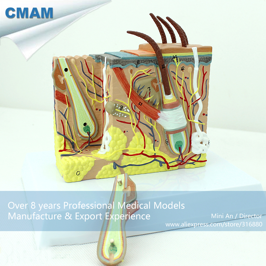 12531 CMAM-SKIN02 Anatomical Human Skin Cross Section Block Model 35x,  Medical Science Educational Teaching Anatomical Models 12400 cmam brain03 human half head cranial and autonomic nerves anatomy medical science educational teaching anatomical models