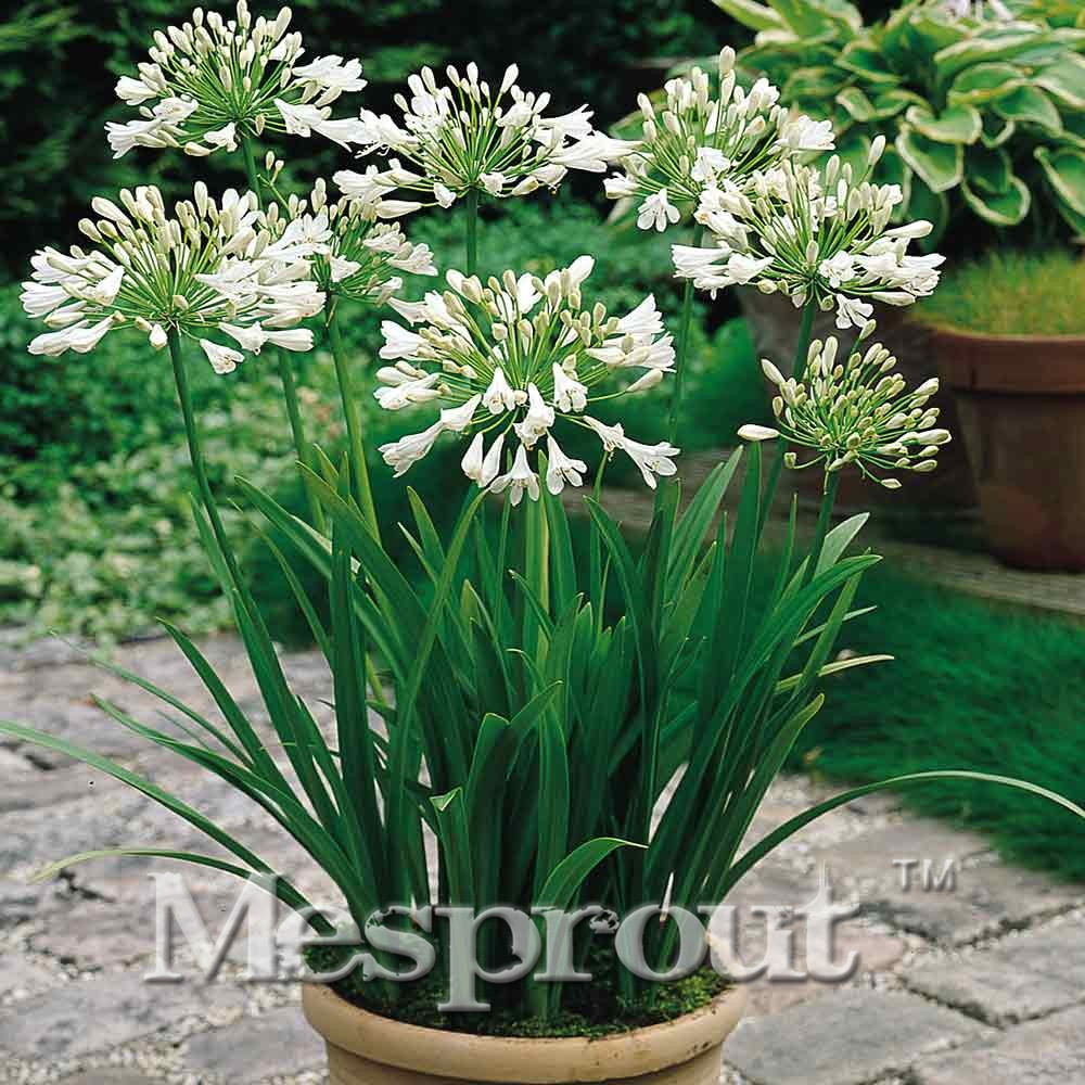 Buy agapanthus seeds and get free shipping on aliexpress izmirmasajfo Images