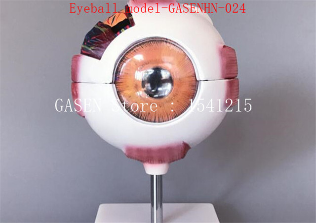 Un modelo anatómico del ojo humano estructura de enseñanza Enseñanza ...
