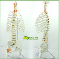 1:1 Authentic Medical Human Spine Model Lumbar Pelvis Sternum Rib Model Thoracic Pleural Human Body Frame Model