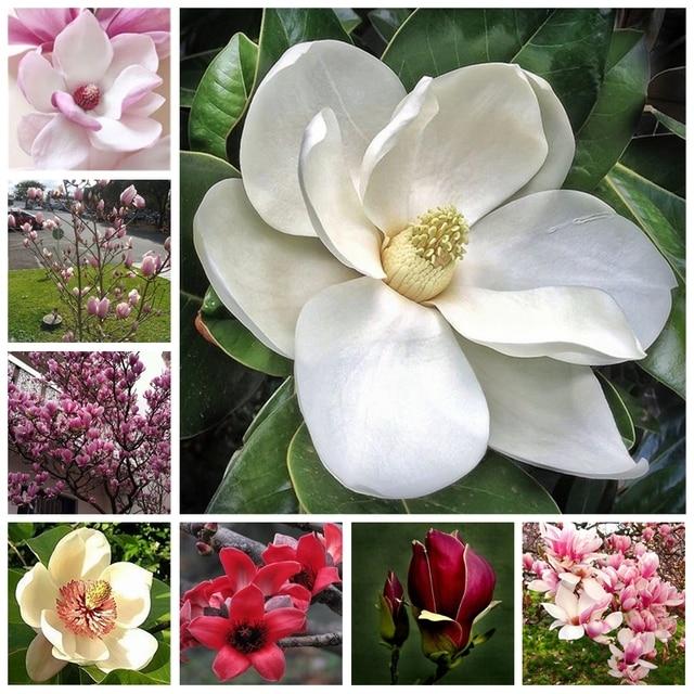 20 pz/borsa Perenne Magnolia Albero Pianta In Vaso Indoor & Outdoor Piante e Fio
