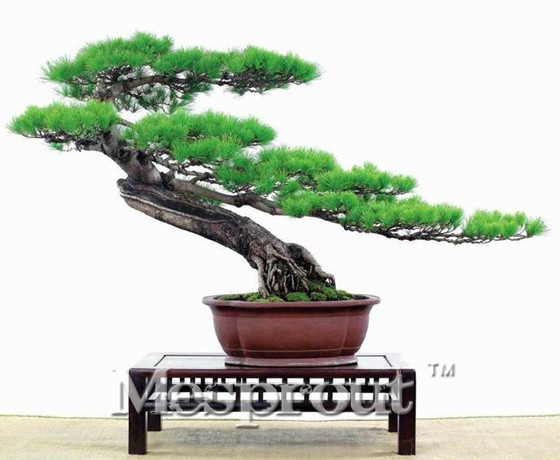 Hot Sale! Hot Sale! Pine Tree Seeds Evergreen Bonsai Pinus Thunbergii And Cypess Seeds 100% True Easy Grow 50pcs Free Shipping