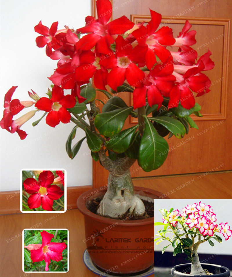 1 PCS Rare Desert Rose Seeds Balcony Bonsai Ornamental Flowers Adenium obesum Seeds Absorption of Formaldehyde Home Garden Plant