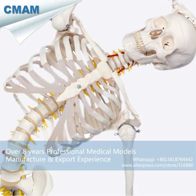 12361-1 CMAM-SKELETON01-1 Flexible Skeleton Life-size 170cm Medical Anatomical Skeleton Models 12363 cmam skeleton03 life size professional medical skeleton with muscles and ligaments 170cm skeleton model