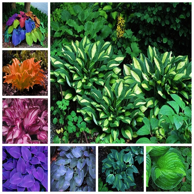 Exotic Hosta Plant Four Seasons Flower Perennial Mixed Plantain Lily