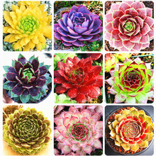 New Home Garden Plant 100 Seeds/Pack Rare Sempervivum Seeds Bonsai Mix Succulent Seeds Easy To Grow