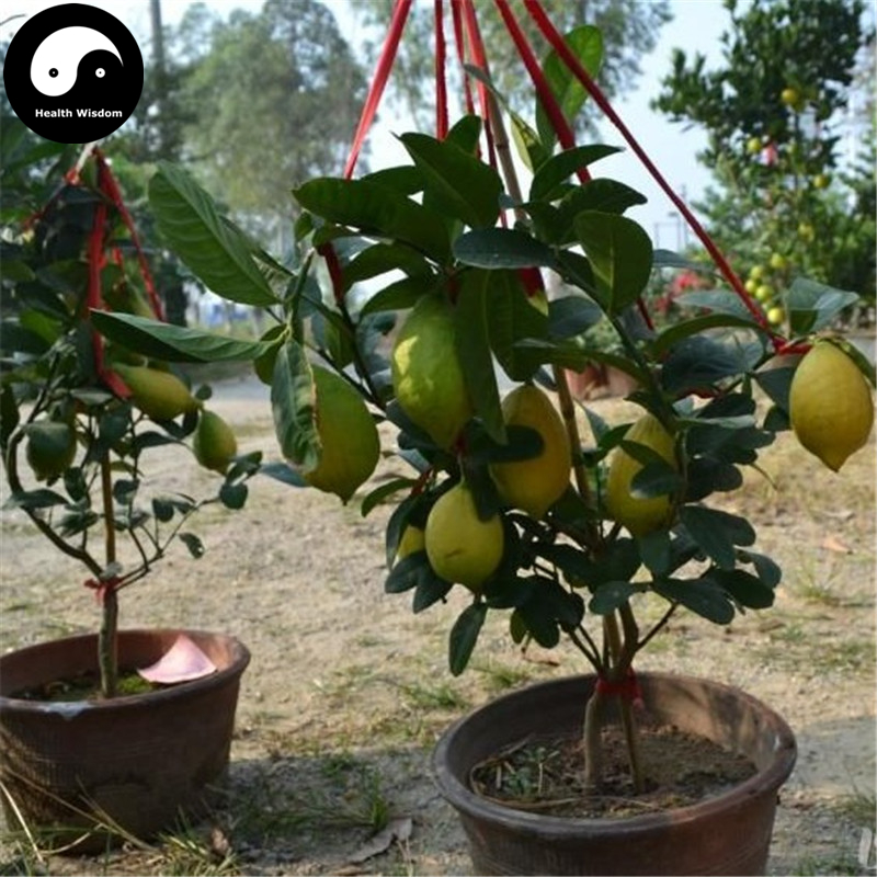 Buy Citrus Limon Fruit Semente 160pcs Plant Lemon Orange Tree For Fruit Ning Meng