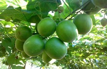 100pcs Luo Han Guo Plants * Monk Fruit * Siraitia Grosvenori *Health Herba-High Germination