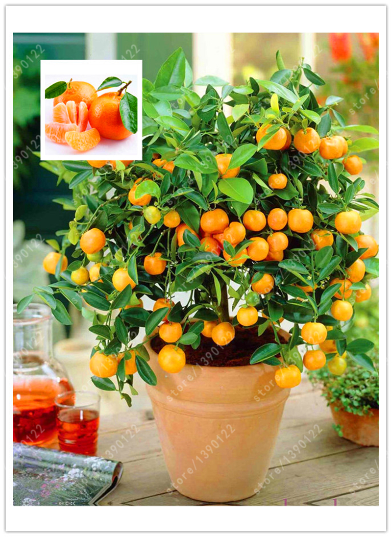 20 orange seeds dwarf Bonsai Mandarin Orange Seeds Edible Fruit tree for home garden