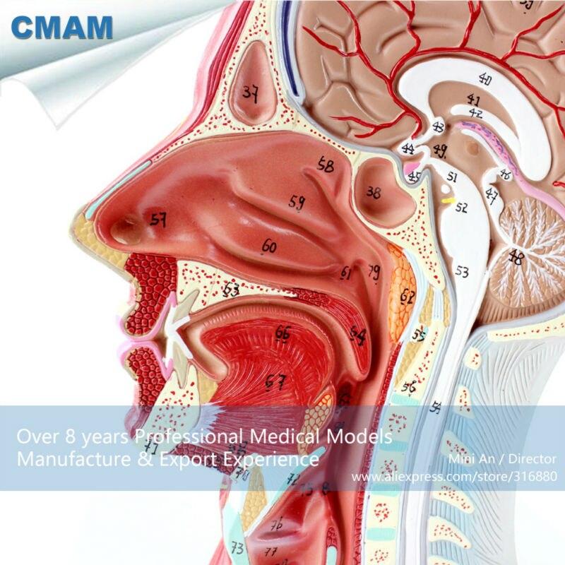 12402 CMAM-BRAIN05 Half of Head Section Model with Vessels, Full Life Size, Anatomy Models > Brain Models 12479 cmam heart03 full life size human adult heart anatomy model 2 parts anatomy models heart models