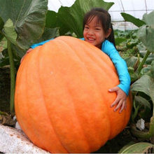 US imports of US Atlantic Giant Pumpkin King Pumpkin generation hybrid 5pcs(China)