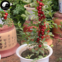 Buy Chinese Dwarf Cherry Tree Seeds 30pcs Plant Cerasus Humilis Grow Calcium Fruit Gai Guo Ouli