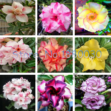 100% real seeds of 9 different color varieties of desert rose flower seed planting potted plants bonsai garden courtyard 1PCS