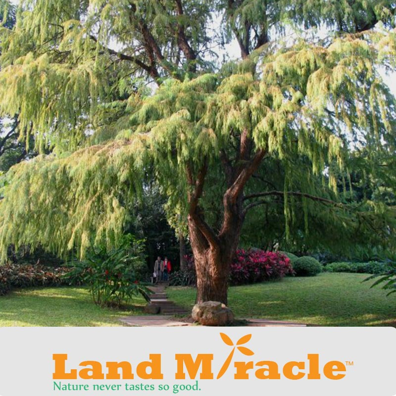 1 Professional Pack, 100 seed/ Pack, Larch Seeds Larix Tree seed New Arrival Home Garden Plant Evergreen Land Miracle
