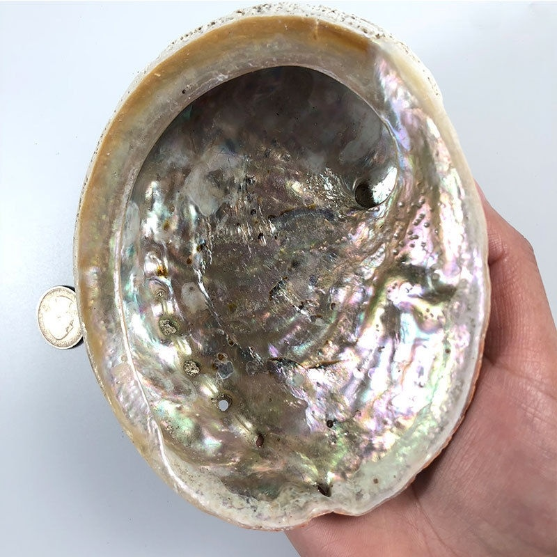 Natural Abalone Shells Seashell Home Aquarium Landscape DIY Decor Soap Holder