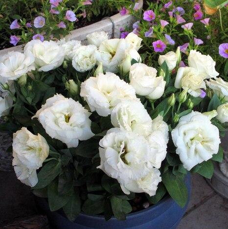 ахименесы ризомы комнатные цветы цена