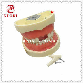 Education&learning Adult Teeth Model with Soft Gum/Dental Tooth Model with28pcs/Standard Dental Study Teeth Model