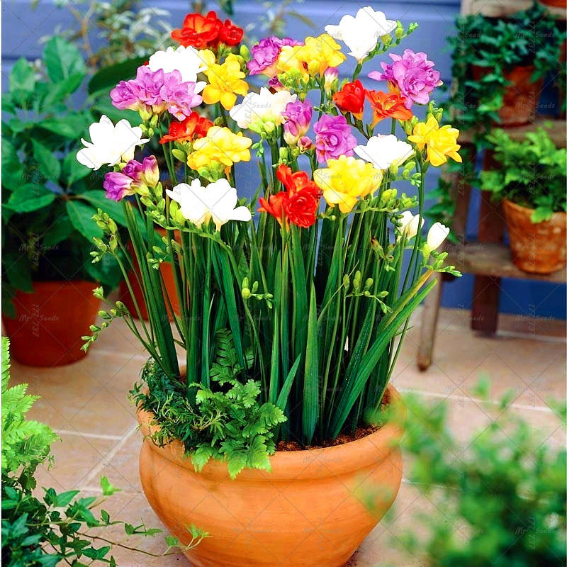 2 pcs bag freesia bulb root gorgeous diy garden colorful aromatic floral plants indoor - Indoor colorful plants ...
