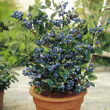Big Promotion! 100 Pcs Blueberry Tree Seed Fruit Blueberry Seed Potted Bonsai Tree Seeds