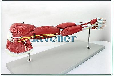 Human Anatomical Arm Muscles Of Upper Limb Anatomy Medical Model + Nerve