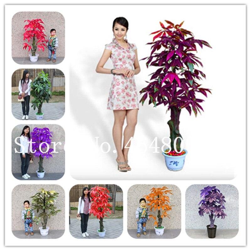 Mini Pachira Macrocarpa Bonsai, Mix Color Rare Money Tree Hawaiian Make Money Tree Plant Mini Bonsai Potted Lucky For You - 1 Pc