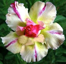 1 Pcs Real Thailand Adenium Obesum Seeds Home Garden Bonsai Rare Garden Ornaments Flower Pots Planter