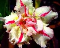 100 Genuine Bonanza Adenium Obesum Seeds 100 SEEDS Bonsai Desert Rose Flower Plant Seeds