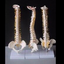 45 เซนติเมตรมนุษย์กระดูกสันหลังด้วย Pelvic รุ่นมนุษย์กายวิภาคศาสตร์กายวิภาคศาสตร์ Spine Medical รุ่น spinal column ชุด + ขาตั้งยืดหยุ่น