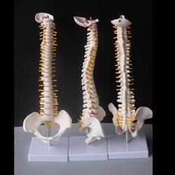 45 cm columna vertebral humana con modelo pélvico Anatomía Humana modelo médico columna vertebral modelo + soporte flexible