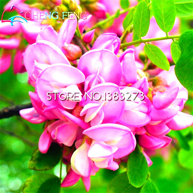 Home flower seeds 50pcs locust sophora japonica flowering tree seeds home flower seeds 50pcs locust sophora japonica flowering tree seeds acacia flowers beautiful garden supplies seed mightylinksfo