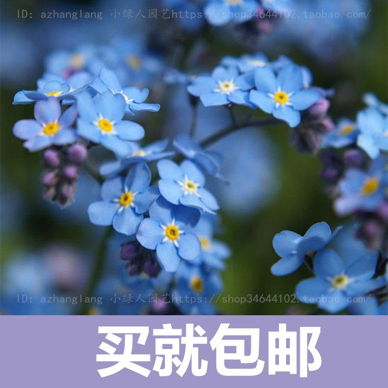 Незабудка-цветок бонсай Бесплатная доставка цветы горшечные растения легко сажать цветы посевные сезоны крытый балкон мяты 10 шт.