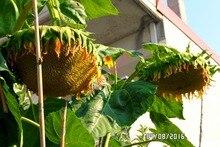 20 pcs Giant Sunflower seeds