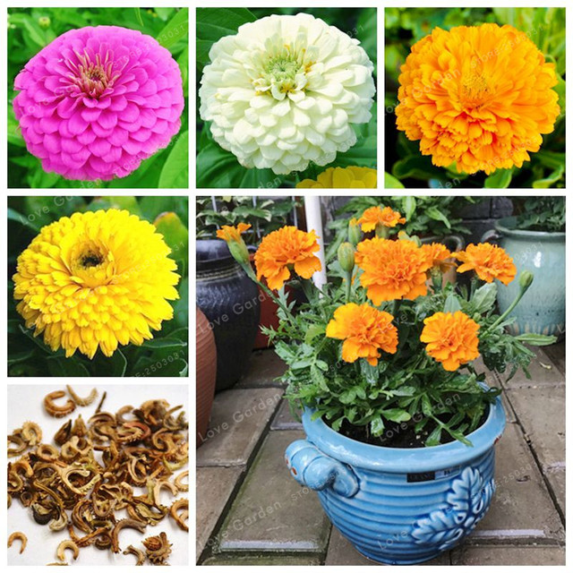 Rara Flor de Calendula Officinalis Marigold Bonsai Amarelo Flor Bonsai Vaso de plantas Para Casa E Jardim Varanda 100 unidades/pacote