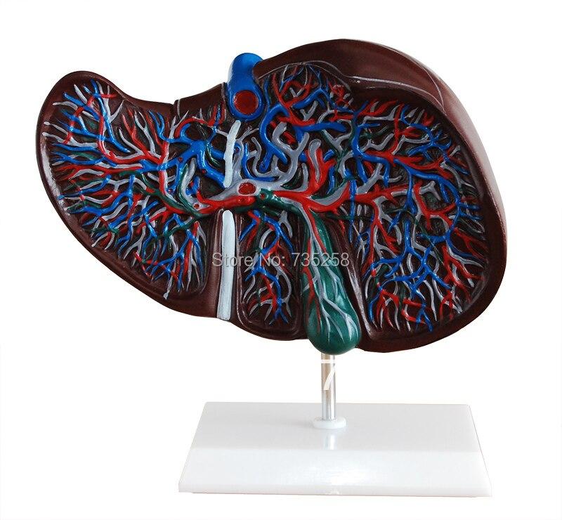 ФОТО Liver Model ,The Liver Anatomical Model