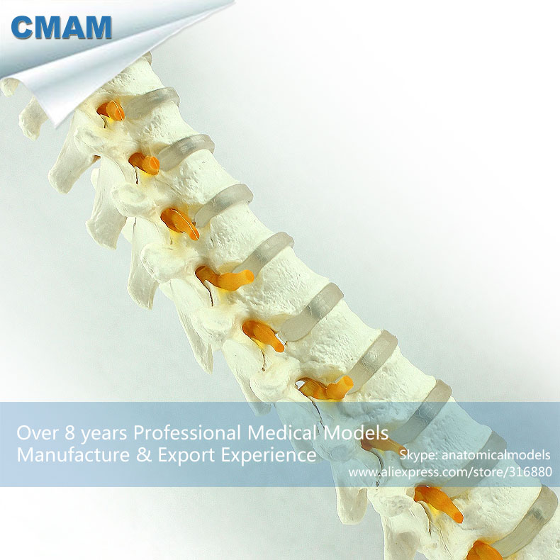 12390 CMAM-VERTEBRA14 Human Thoracic Model Vertebral Column Skeleton Model, Medical Science Teaching Anatomical Models cmam spine11 human vertebral column w half femur highly detailed model medical science educational teaching anatomical models