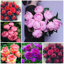 20pcs Bonsai Rare Chinese Peony Planting Greenery Flowers Outdoor Terrace Courtyard Paeonia Flower for Home Garden Decoration(China)