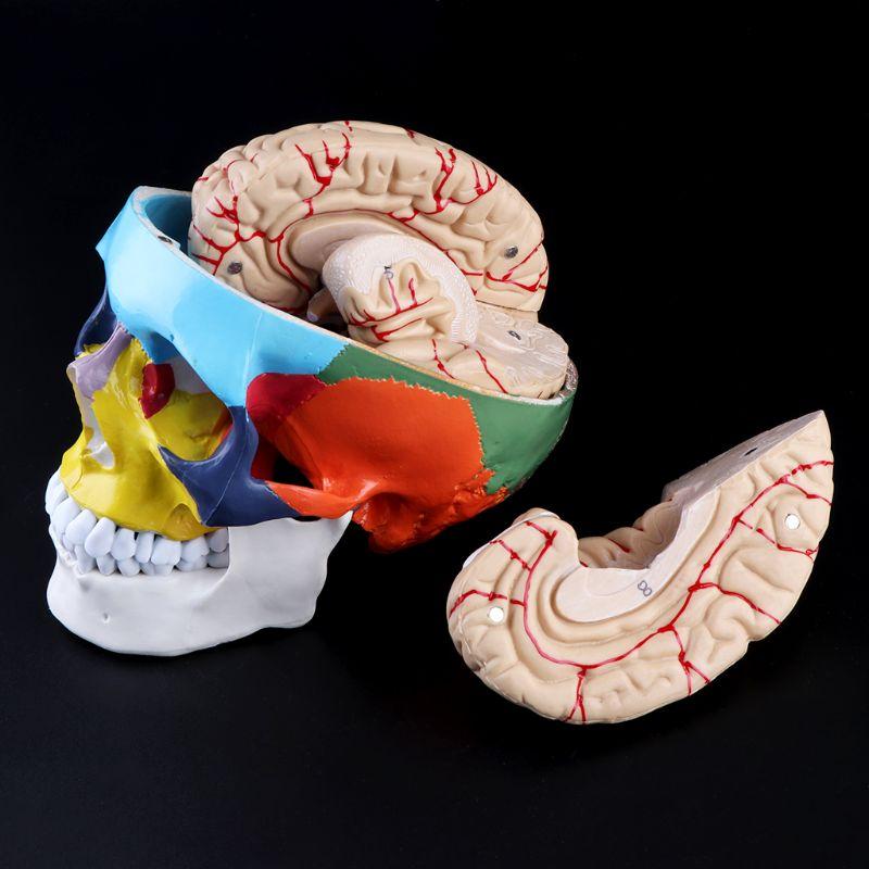 1:1 Scale Colorful Human Skull Skeleton Adult Head Model with Brain Stem Anatomy Medical Teaching Tool Supply 5